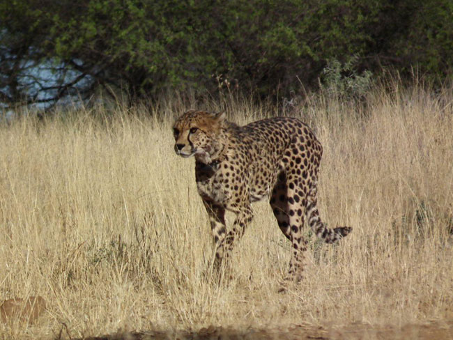 Wildlife Tracking: Rhino, Leopard, Cheetah