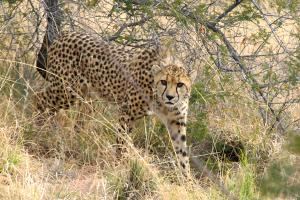 Amani Cheetah Conservation