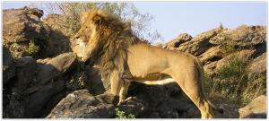 Big Cats Refugee And Rehabilitation Project Tour Packages
